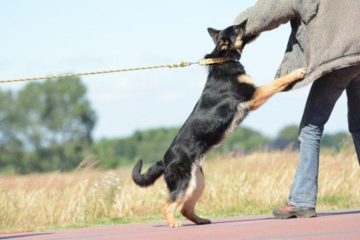 argo-napor-pies-02-hodowla-uzytkowych-owczarkow-niemieckich