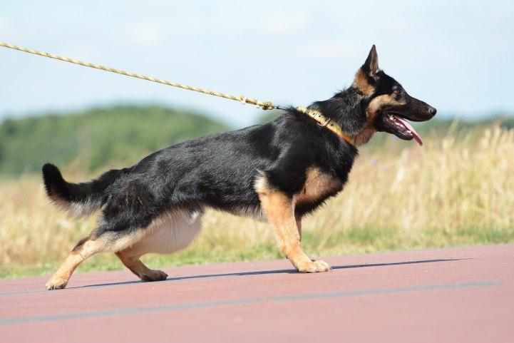 argo-napor-pies-03-hodowla-uzytkowych-owczarkow-niemieckich