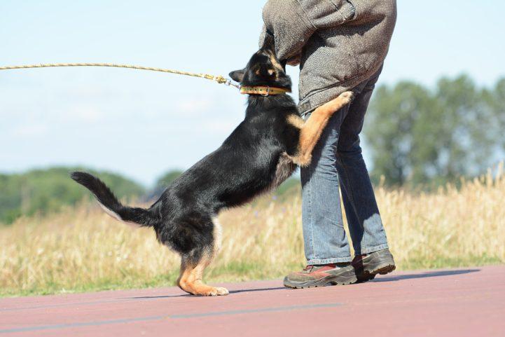 argo-napor-pies-04-hodowla-uzytkowych-owczarkow-niemieckich