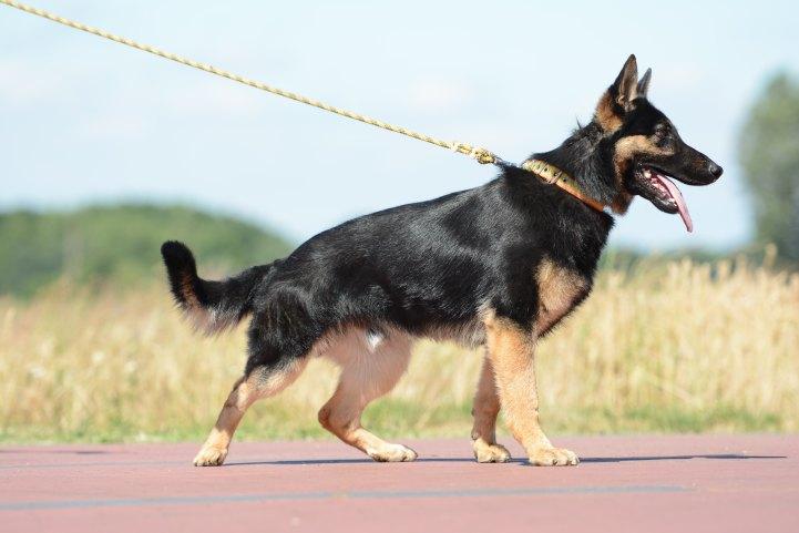 argo-napor-pies-05-hodowla-uzytkowych-owczarkow-niemieckich