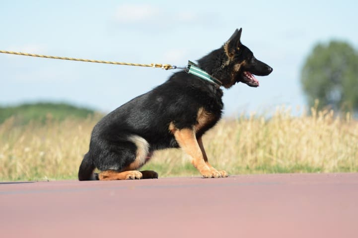 cezar-napor-pies-01-hodowla-uzytkowych-owczarkow-niemieckich