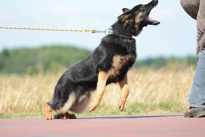 cezar-napor-pies-02-hodowla-uzytkowych-owczarkow-niemieckich