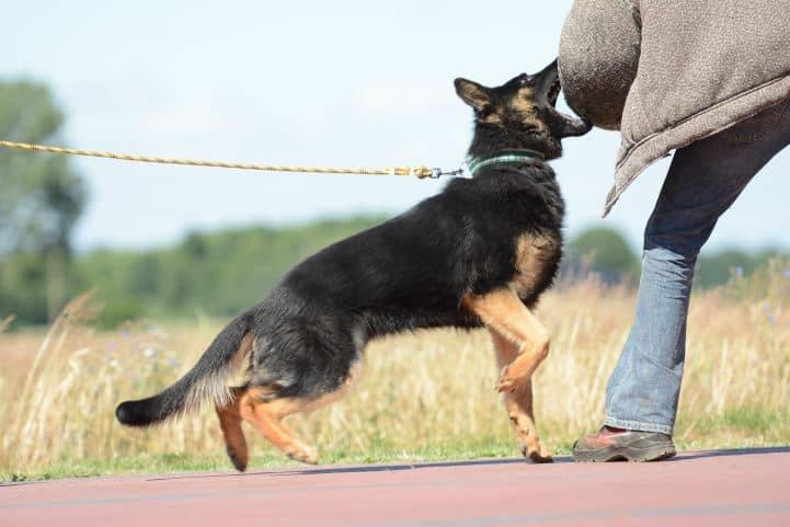 cezar-napor-pies-03-hodowla-uzytkowych-owczarkow-niemieckich
