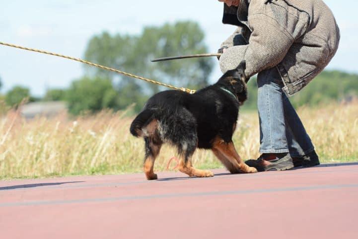 cezar-napor-pies-04-hodowla-uzytkowych-owczarkow-niemieckich
