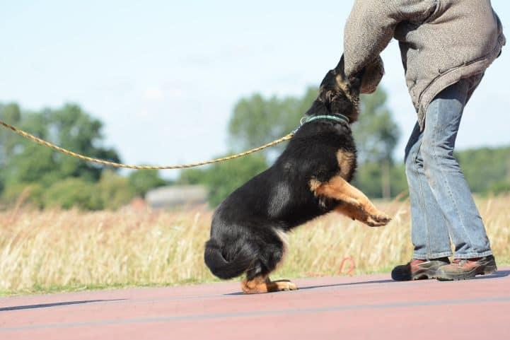 cezar-napor-pies-05-hodowla-uzytkowych-owczarkow-niemieckich