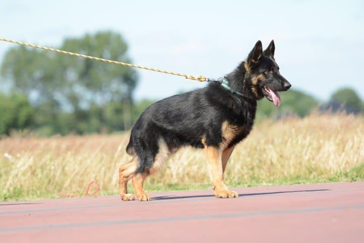 cezar-napor-pies-06-hodowla-uzytkowych-owczarkow-niemieckich