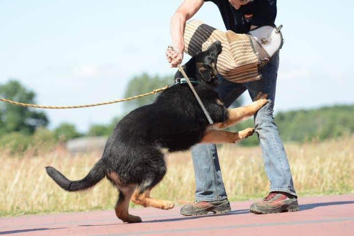 cezar-napor-pies-07-hodowla-uzytkowych-owczarkow-niemieckich