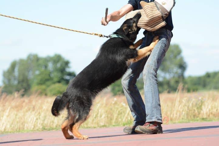 cezar-napor-pies-08-hodowla-uzytkowych-owczarkow-niemieckich
