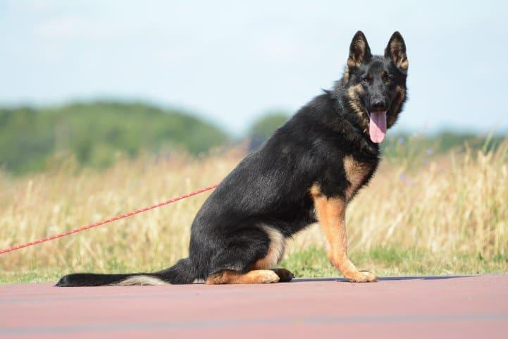 cezar-napor-pies-11-hodowla-uzytkowych-owczarkow-niemieckich