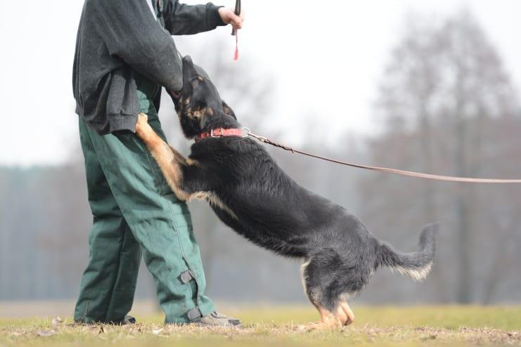 fer-napor-pies-fotografia-02-hodowla-uzytkowych-owczarkow-niemieckich-napor