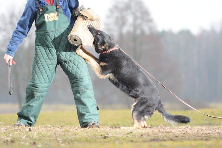 fer-napor-pies-fotografia-04-hodowla-uzytkowych-owczarkow-niemieckich-napor