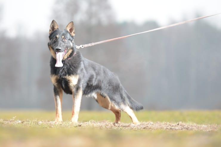 fer-napor-pies-fotografia-06-hodowla-uzytkowych-owczarkow-niemieckich-napor