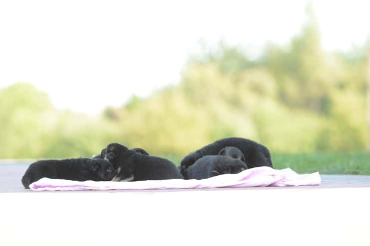szczeniaki-po-feni-ronie-napor-fotografia-01-hodowla-uzytkowych-owczarkow-niemieckich-napor