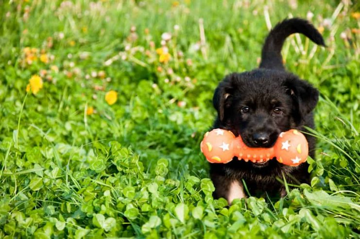 owczarek niemiecki szczeniak z zabawką