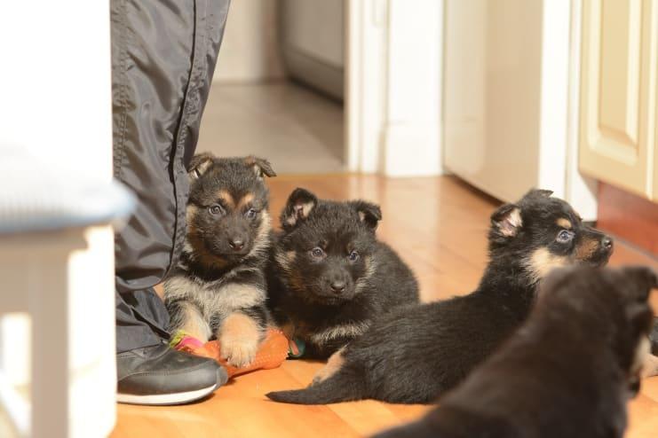 szczeniaki-jaga-for-napor-fotografia-04-hodowla-uzytkowych-owczarkow-niemieckich-napor