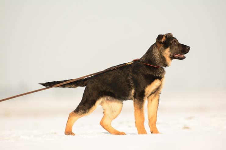 wum-napor-pies-zdjecie-hodowla-uzytkowych-owczarkow-niemieckich-napor-4