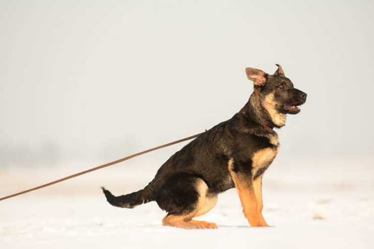 wum-napor-pies-zdjecie-hodowla-uzytkowych-owczarkow-niemieckich-napor-5