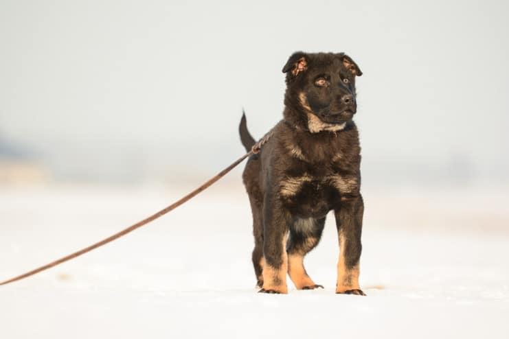zar-napor-pies-zdjecie-hodowla-uzytkowych-owczarkow-niemieckich-napor-2