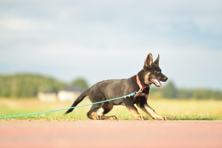 fen-napor-pies-fotografia-01-hodowla-uzytkowych-owczarkow-niemieckich-napor