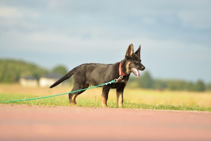 fen-napor-pies-fotografia-02-hodowla-uzytkowych-owczarkow-niemieckich-napor