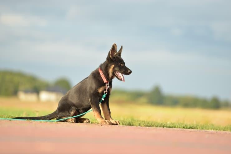 fen-napor-pies-fotografia-03-hodowla-uzytkowych-owczarkow-niemieckich-napor