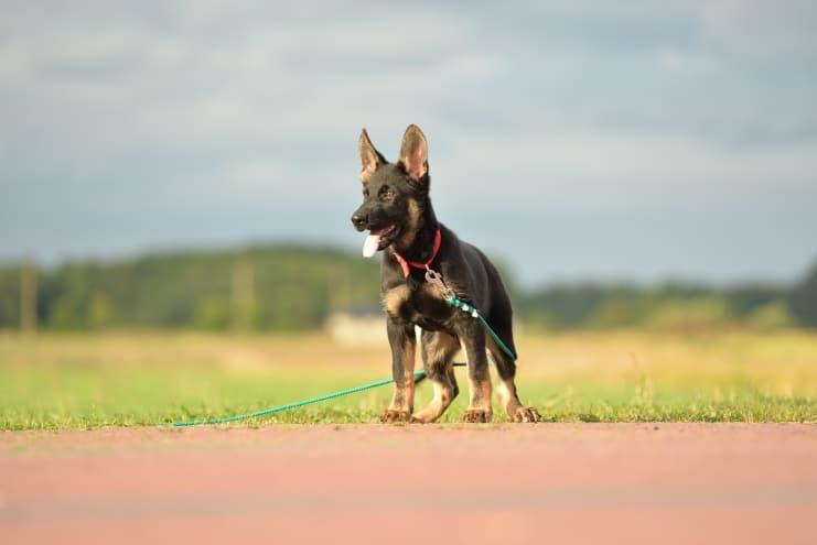 fen-napor-pies-fotografia-04-hodowla-uzytkowych-owczarkow-niemieckich-napor