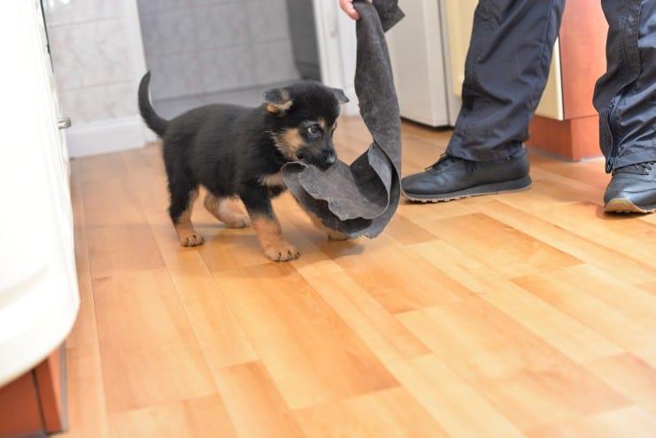 nowy-miot-szczeniaki-fotografia-09-puma-napor-for-napor