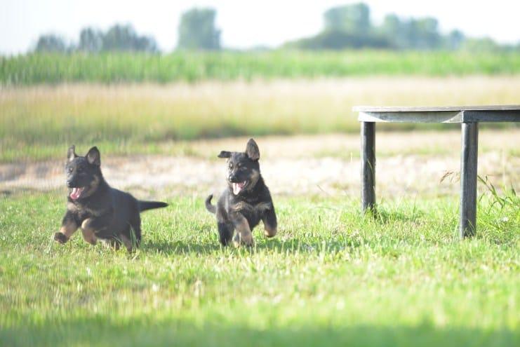 nowy-miot-szczeniaki-7-tygodni-fotografia-05-czika-napor-for-napor