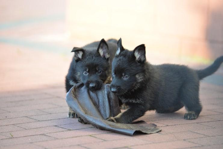 nowy-miot-szczeniaki-6-tygodni-fotografia-04-umi-napor-for-napor