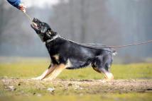for-napor-fotografia-01-hodowla-uzytkowych-owczarkow-niemieckich-napor